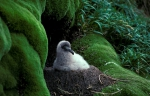 Light-mantled Sooty Albatross  #1E0869