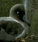 Light-mantled Sooty Albatross  adult on nest 2