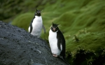 Rockhopper Penguin pair 1_1