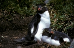 Rockhopper Penguin pair 2_1