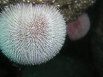 Echinus esculentus, author: Javier Atalah