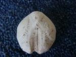 Skeleton heart-urchin, author: Sjoukema Anna