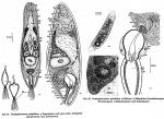 Acoelomorpha