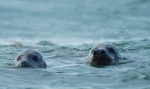 Grey Seal, author: Van Ginderdeuren, Karl