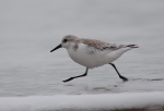 Sanderling, author: Karl Van Ginderdeuren