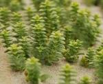 VLIZ website: Zeeleven: Mariene planten