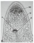 P. cetinae