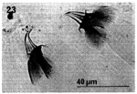 G. conocaudatus