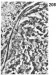O. lonchiferus