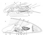 P. subterraneus