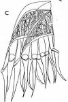 G. rubra intermedia