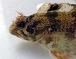 Gehoornde slijmvis