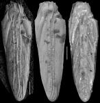 Plectofrondicularia trilineata Cushman, 1927 Holotype, author: Hayward, Bruce
