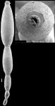 Stilostomella fistuca (Schwager, 1866) Identified specimen.