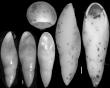 Pleurostomella alazanensis var. cubensis Cushman & Bermudez, 1937. Holotype, author: Hayward, Bruce