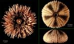 Antarctic Echinoids