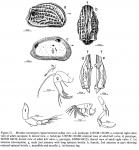 Mutilus convergens clippertonensis Allison & Holden, 1971 from original description, author: Allison & Holden, 1971