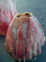 Megabalanus coccopoma