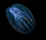 Ctenophora (Sea gooseberries)