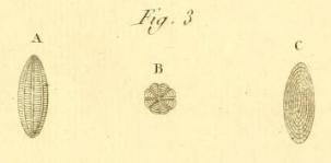 Oryzaria boscii Defrance in Bronn, 1825, author: Le Coze, Fran�ois