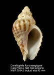 Coralliophila fontanangioyae