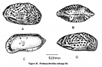 Perissocytheridea oblonga Hu, 1976 from Hu, 1978, author: Hu, 1978