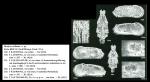 Bradyon stellatum Jellinek, 1993 from original description, author: Jellinek, 1993