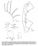 Monostaechas quadridens, from Schuchert (1997)
