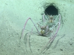 Acanthacaris caeca, 722 m Gulf of Mexico  Image courtesy of the NOAA Office of Ocean Exploration and Research, Gulf of Mexico 2017. Identification from photograph by M. Wicksten and D. Amon.