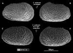 Echinocythereis echinata Sars, 1866 from Branda~o & Karanovic, 2015