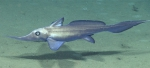 Harriotta raleighana, 1920 m Gulf of Mexico  Image courtesy of the NOAA Office of Ocean Exploration and Research, Gulf of Mexico 2017. Identification from photograph by D. Ebert,Pacific Shark Research Center, Moss Landing Marine Laboratories.