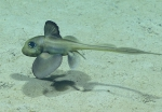 Hydrolagus mirabilis, 793 m Gulf of Mexico  Image courtesy of the NOAA Office of Ocean Exploration and Research, Gulf of Mexico 2017. Identification from photograph by D. Ebert,Pacific Shark Research Center, Moss Landing Marine Laboratories.