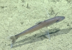 Bathypterois bigelowi, 729 m Gulf of Mexico  Image courtesy of the NOAA Office of Ocean Exploration and Research, Gulf of Mexico 2017. Identification from photograph by A. Quattrini and K. Sulak.