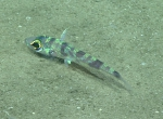 Chlorophthalmus agassizi, 406 m�Gulf of Mexico  Image courtesy of the NOAA Office of Ocean Exploration and Research, Gulf of Mexico 2017. Identification from photograph by A. Quattrini.