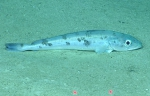 Merluccius albidus, 682 mGulf of Mexico  Image courtesy of the NOAA Office of Ocean Exploration and Research, Gulf of Mexico 2017. Identification from photograph by A. Quattrini.