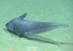 Coryphaenoides mediterraneus, 2145 m�Gulf of Mexico  Image courtesy of the NOAA Office of Ocean Exploration and Research, Gulf of Mexico 2017. Identification from photograph by T. Iwamoto.