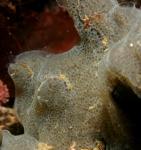 grijze korstzakpijp <i>Diplosoma listerianum</i>