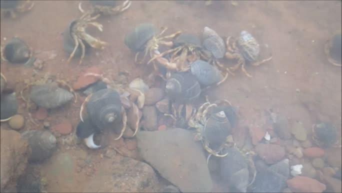 Hermit crabs (Pagurus spp.)