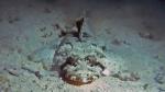 Crocodilefish Papilloculiceps longiceps DMS