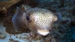 Diodon hystrix SpottedPorcupinefish DMS