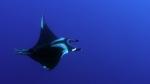 Manta birostris Giant manta ray2 DMS
