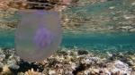 Moon jellyfish Aurelia aurita DMS