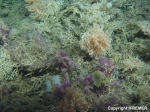 Living coral thickets on Galway Mound, Porcupine Seabight