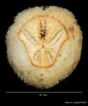 Schizaster doederleini, aboral view