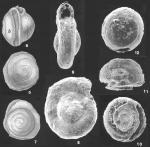 Repmanina charoides (Jones & Parker) identified specimen