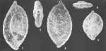 Ammomassilina alveoliniformis (Millett) identified specimen