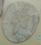 Clypeaster subdepressus aboral
