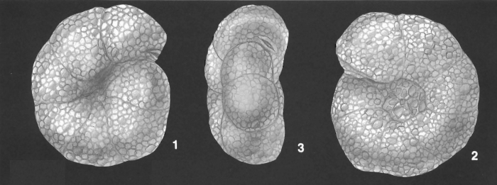 Labrospira crassimargo (Norman) identified specimen