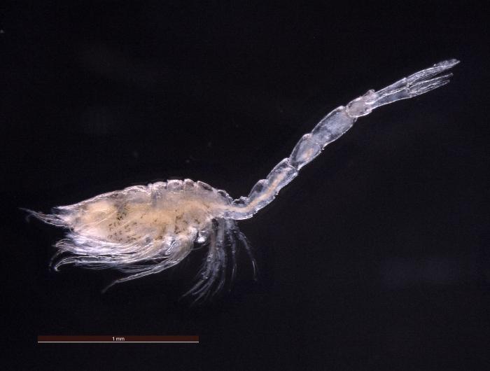 Monopseudocuma gilsoni