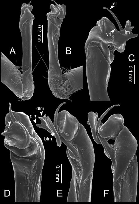 Desmoxyteseurossp. n. (paratype) – right gonopod.